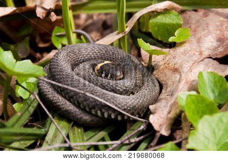 Curled up grass snake Natrix natrix also known as water snake