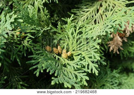 Couple of seed cones of Thuja occidentalis