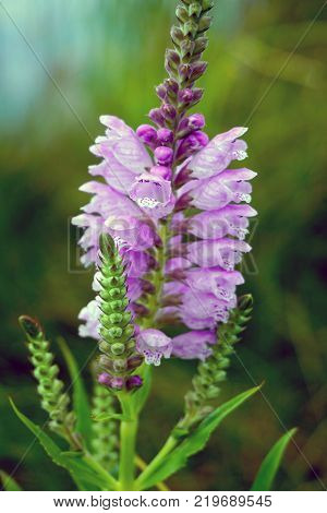 A false dragonhead flower Physostegia virginiana also called obedient plant, or obedience, blooms near the shore of a small lake in Joliet,