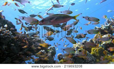 School of fishes Vanikoro Sweeper swims near coral reef in Red sea. Egypt 4K