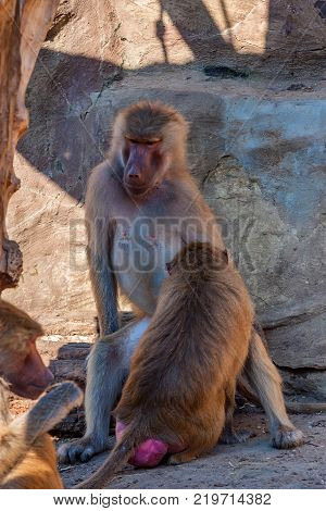Baboons or Papio hamadryas taking care of each other and demonstrating social grooming