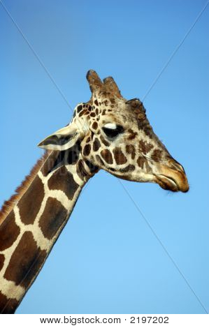Giraffe Neck And Head