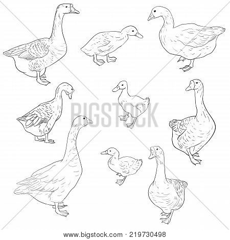 vector sketch of geese, ducks and goslings isolated at white background