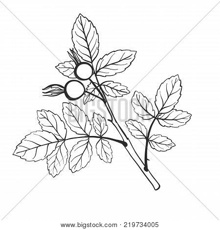 vector twig of brier with leaves, isolated hand drawn nature element, spring branch, hand drawn illustration