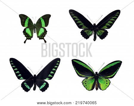 Set of four beautiful green tropical butterflies of Indonesia and Malaysia. Papilio palinurus palinurus, Trogonoptera brookiana, Trogonoptera trojana, Ornithoptera priamus poseidon
