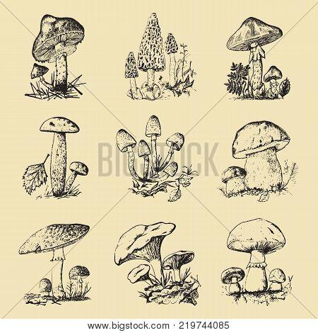 Mushroom set hand drawn engraved. vintage organic vegetarian food champignon, chanterelles, honey fungus, fly agaric, amanita, common stinkhorn, penny bun, red-capped scaber stalk for menu, packaging