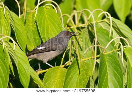 Long-tailed sibia gray bird feeding on long pepper at Fraser's Hill, Malaysia, South east Asia (Heterophasia picaoides)