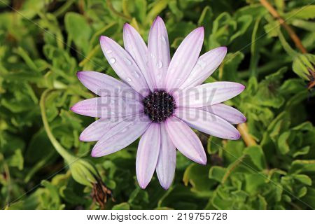 Pink cape daisy (Osteospermum) flower with darker pink, almost purple, in the petal stripes, petal tips and centre. Raindrops on the petals. Leaves of the plant as background.