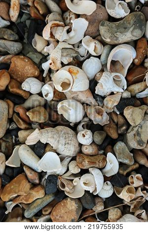 Broken and eroded shells mostly whelks (Buccinum undatum) and slipper limpets (Crepidula fornicata) on a stony beach with multi coloured pebbles forming a nice collage effect.