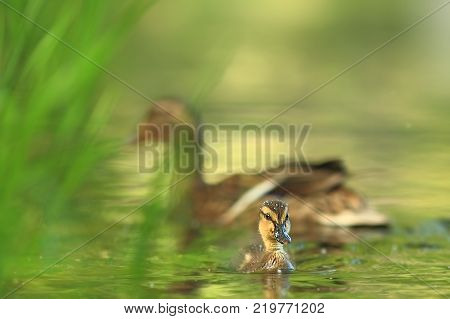 Anas platyrhynchos. The wild nature of the Czech Republic. Spring in nature. Bird on water.