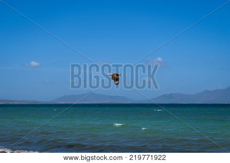 Nature photography - seascape with an isolated hawk flying next to the coast of Coche island in front of Margarita island (Venezuela).