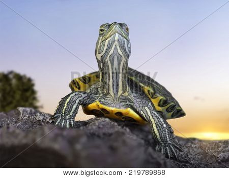 Red-eared tortoise close-up on stones on a sunset background.