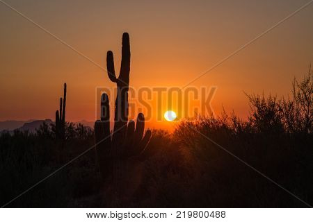 Saguaro Cactus In Sonoran Desert Of Arizona At Sunset In Saguaro National Park