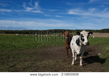 Cows in a swedish field on blue sky background