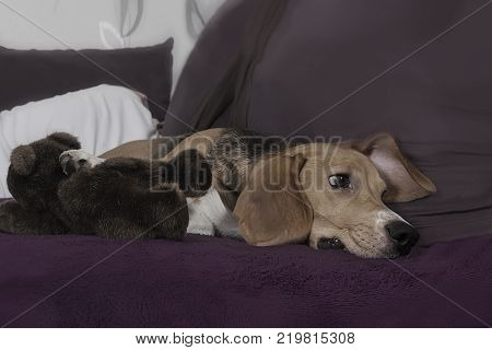 Pets a dog. Young dog of the Beagle breed lies quietly