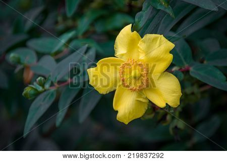 A single blossom flower of Hypericum perforatum, known as perforate St John's-wort or common Saint John's wort, is a flowering plant in the family Hypericaceae
