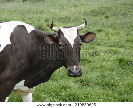 a cow and cattle on a walk  looks at the photographer