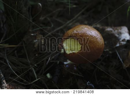 boletus greasers mushrooms in a basket and dry mushroom on wooden table overhead
