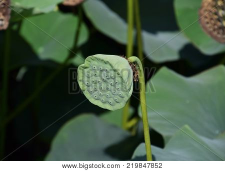 Pond with lotuses. Lotuses in the growing season. Decorative plants in the pond.
