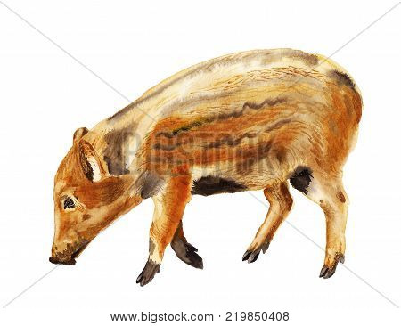 Watercolor image of baby of wild boar pig on white background