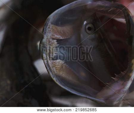 Freshwater fish Northern pike in the beautiful clean pound. Underwater shot with nice bacground and natural light. Wild life animal.