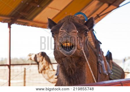 Australian Laughing Camel with very poor Dentistry