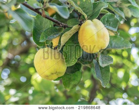 Quince among green leaves on the tree.