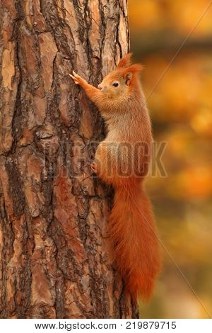 The squirrel was photographed in the Czech Republic. Squirrel is a medium-sized rodent. Inhabiting a wide territory ranging from Western Europe to Eastern Asia.Animal in the wild. Beautiful picture of a rusty squirrel. Squirrel sitting in a leaf. Small ma