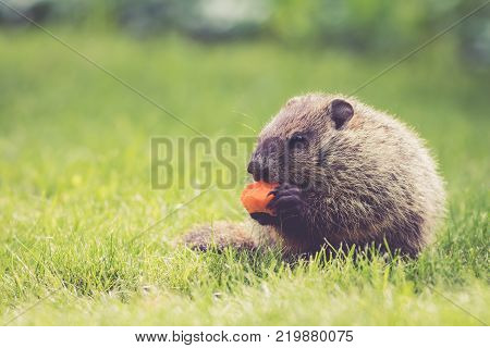 Adorable little Groundhog (Marmota Monax) eating a carrot sitting in the green grass on a spring morning