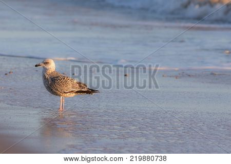 Winter coastal nature. Juvenile gull in winter plumage standing by the sea. Seagull by the shore. Serene tranquil wildlife image with copy space.