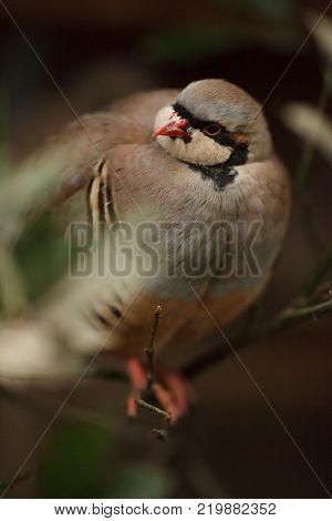 portrait of a beautiful bird chukar in the wild