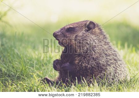 Funny young Groundhog (Marmota Monax) sitting in green grass holding tail between legs