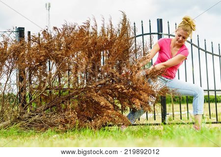 Woman Removing Dried Thuja Tree From Backyard