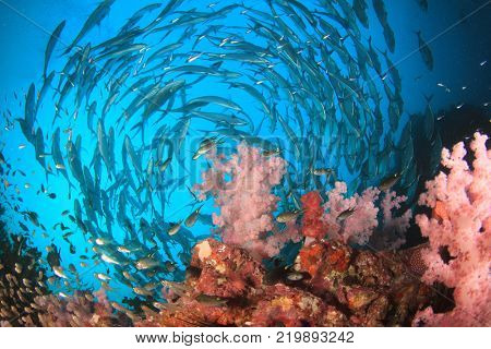 Schooling Jack fish on coral reef