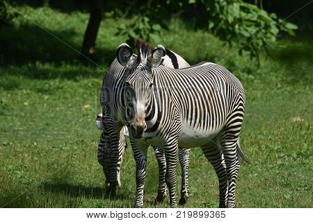 Beautiful grevy's grazing in a field for grass.