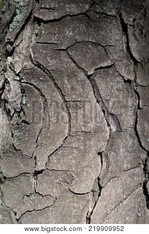 Round fissures on bark of horse chestnut
