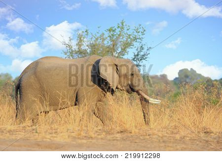 African Bull Elephant walking in the bush veld in south luangwa national park, with nice pale blue cloudy sky