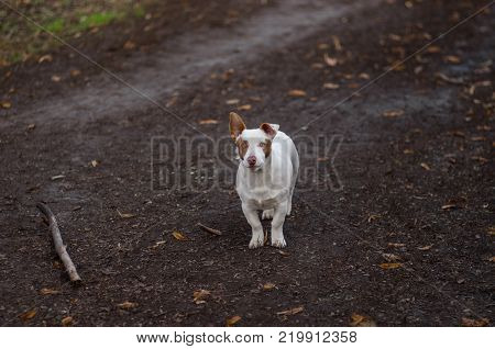 Outdoor portrait of brave white and stocky mixed breed dog ready to defend its fatherland