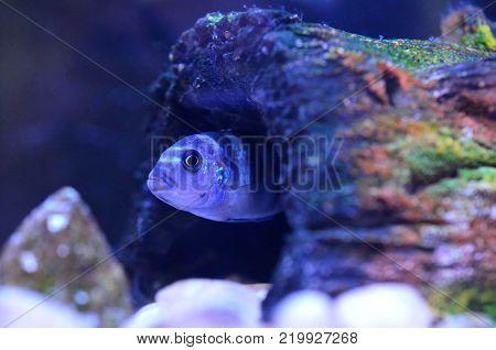 Cichlid Fish in aquarium. Scientific Name: Pseudotropheus Demasoni