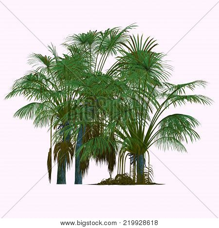 Coco de Mer Trees 3D illustration - This is a palm endemic to the islands of Praslin and Curieuse in the Seychelles and is the sole member of the genus Lodoicea.