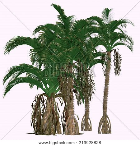 Verschaffeltia splendida Trees 3D illustration - This is a flowering palm endemic in the Seychelles and is a member of the genus Arecaceae.