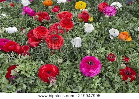 Colorful Ranunculus asiaticus. Persian Buttercup. Floral background.