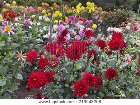 Different types of colorful dahlias in dahlia garden.