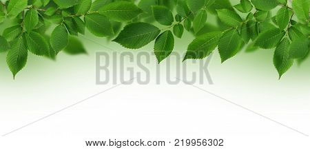 Border with branch of fresh green elm-tree leaves on green and white background.