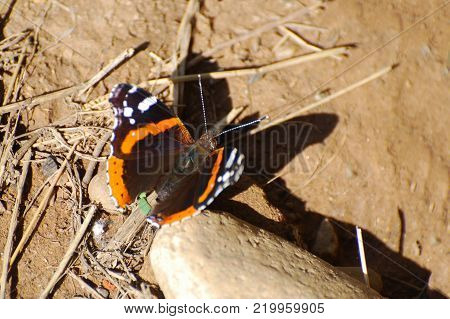 Vanessa atalanta, Red Admiral butterfly resting on the ground