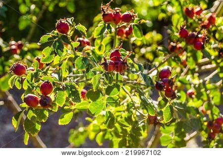 Closeup image of a brier bush with ripe fruits in autumn