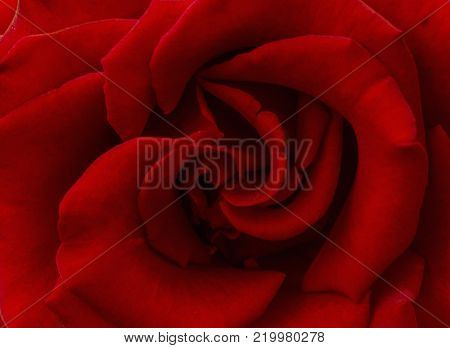 Abstract red rose. Rose flower. Rose background. Romantic background. Red background. Love background. Passion background.