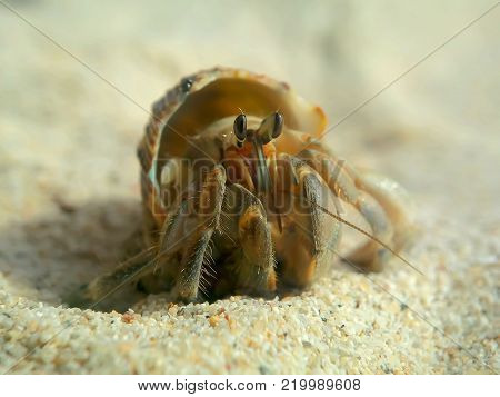 Hermit crabs on beautiful white sand, yes walking under the hot sun