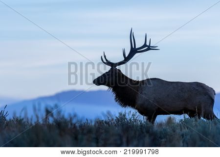 a bull elk in Wyoming during the fall rut