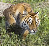 Bengal tiger stalking possible prey for a meal poster